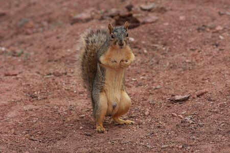 varmint: Squirrel standing on hind lege