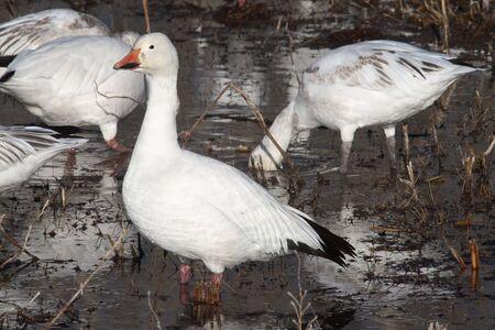Snow goose on watch
