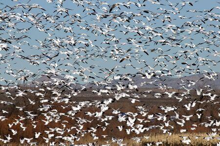 Snow geese Banco de Imagens