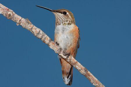 Hummingbird portrait