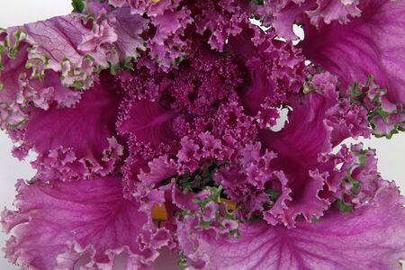 endive: Flowering endive