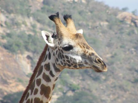 tsavo: Giraffe photographed in Tsavo east national park Kenya