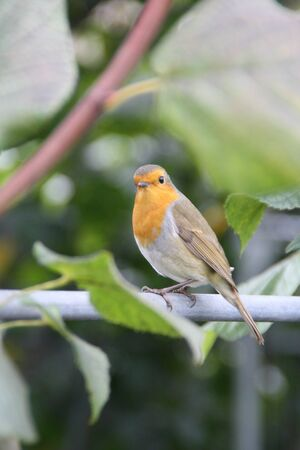 The Robin is a plump bird with bright orange-red breast, face, throat and cheeks edged with grey, a white belly and olive-brown upper part Taken in the grounds of Kensington Palace