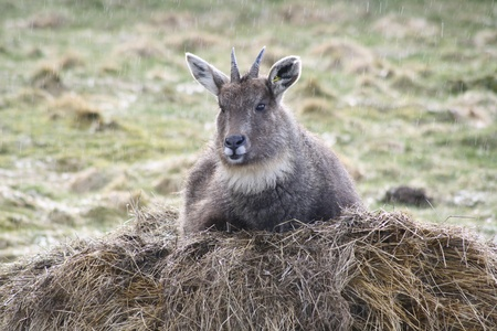 horn like: Gorals are often found on rocky hillsides at high elevations. Though their territory often coincides with that of the closely-related serow, the goral will usually be found on higher, steeper slopes with less vegetation. Photo taken in a wildlife park in