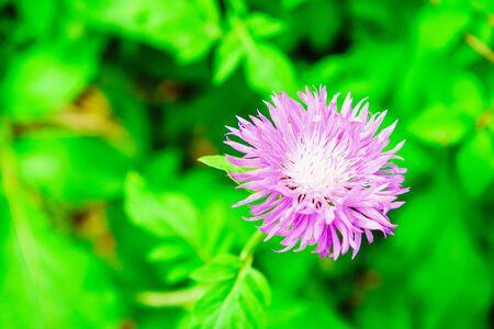 Purple garden cornflower on green fresh grass background