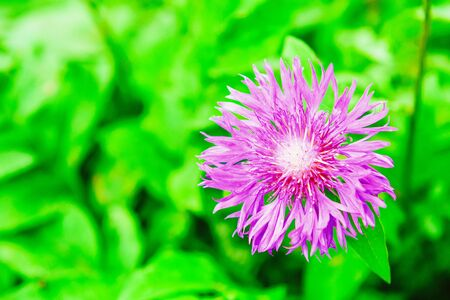 Purple garden cornflower on green fresh grass background