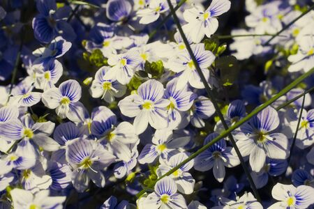 Veronica filiformis Slender speedwell white blue little flowers background