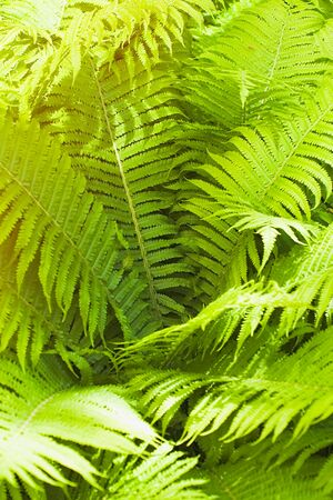 Green fern thicket in forest closeup summer background