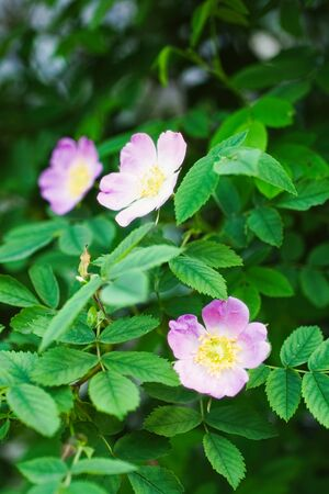 Close-up of dog rose Rosa canina bush with green leaves background