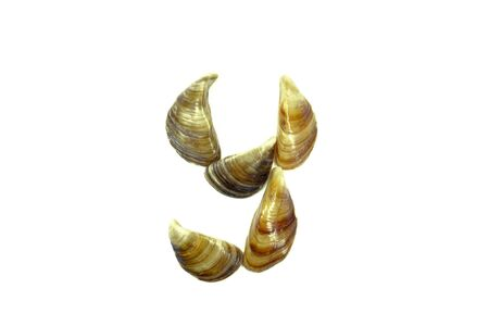isolated shell letter Y - white background,