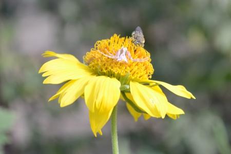 goldenrod spider: ragno e ape sul fiore giallo