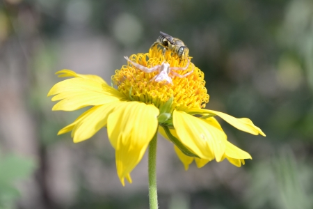 eight legged: spider and bee on the yellow flower Stock Photo