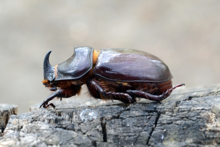 rhino beetle Stock Photo