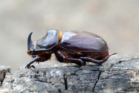 rhino beetle Stock Photo