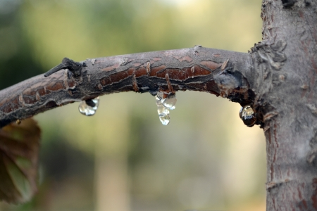 tree branch with drops