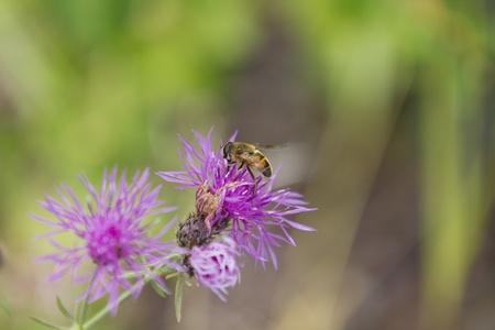Busy Bee on Purple Flower