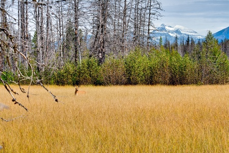 reclaiming: Mule Deer in Golden Mountain Meadow with snow capped peaks and new growth in burned forest