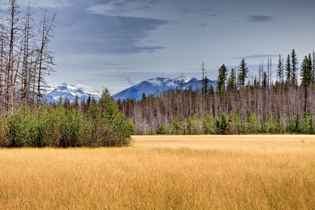 reclaiming: Golden Meadow in Glacier National Park. New growth reclaiming burned area