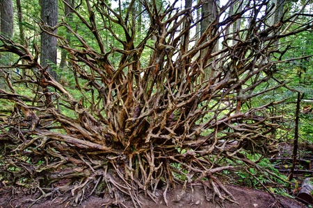 Exposed roots of a large fallen tree