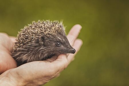 Small hedgehog in the hands 写真素材