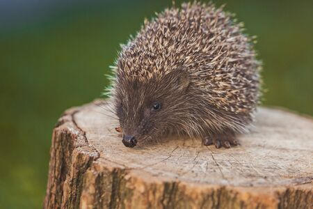 Wild european hedgehog on the log Banco de Imagens
