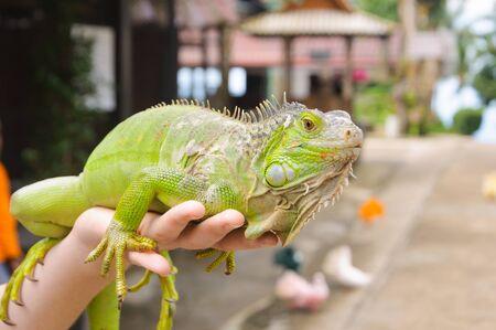 saurian: Green iguana sitting on the hands of man