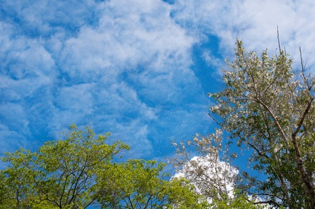 The Poplar fluff on a background of the blue sky