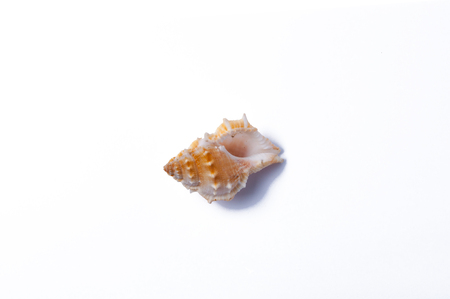 oceanic: The sea shell on white background