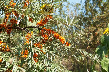 The ripe sea buckthorn berries on branches Stock Photo