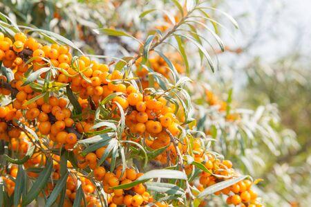 argousier: Les baies d'argousier mûr sur les branches