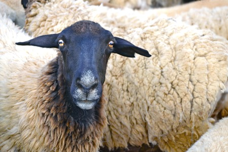 hardiness: The soulful eyes of a South African Blackhead Dorper ewe gathered for slaughter in Namaqualand  Stock Photo