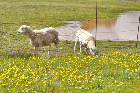 ewes: A white Dorper lamb grazes through a fence with rubbish while the ewe