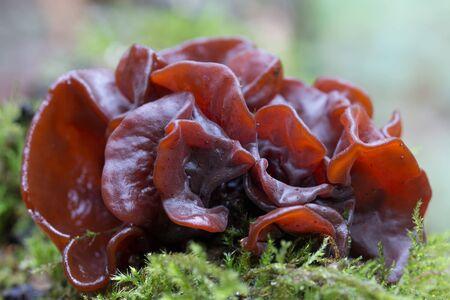 Tremella foliacea mushroom group