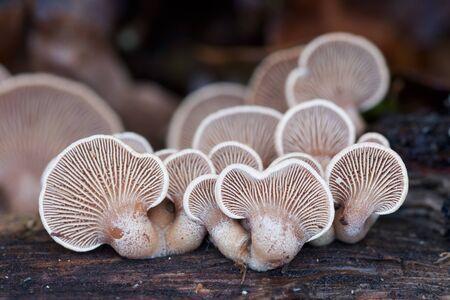 Panellus stipticus mushrooms caps growing in dead wood