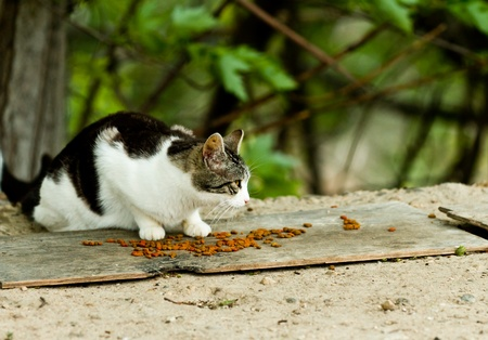Single cat that was abandonded outside eating foot left by someone else Stock Photo