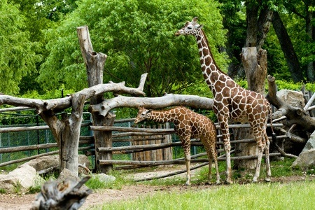enclosures: Two giraffes in a wooded enclosure. One is older with a younger giraffe in front of him. Stock Photo