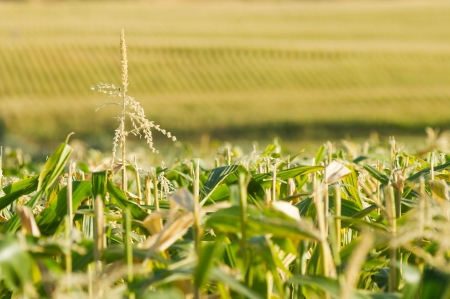 as far as the eye can see: Rows of corn stretching as far as the eye can see. A single lone tassel sticking up. Focus is fairly shallow with main point on the tassel. Possible use for farming or ethanol or alcohol production