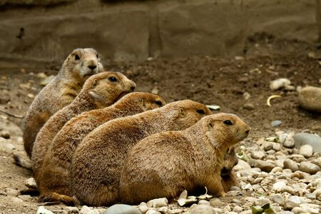 taller: Five groundhogs sitting in a row each standing taller then the first Stock Photo
