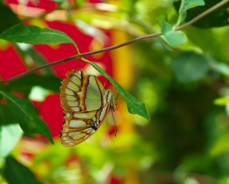 Butterfly against a vibrant green red and yellow background hanging upsdie down