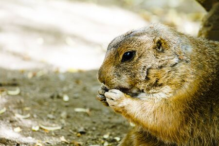 Profile view of a ground hog with hands near mouth eating