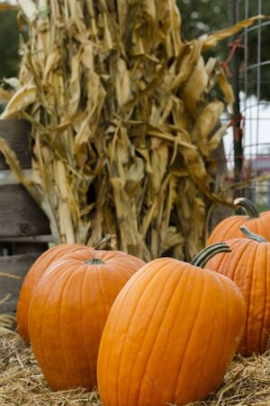 Large pumpkins on a bed of straw with corn stalks in the background photo