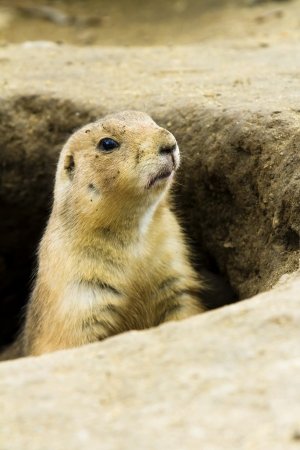 Ground hog trying to see out his hole to see if it is safe or not to get out Stock Photo