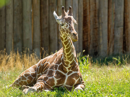 Young giraffe relaxing on the grass  during a hot summer day. Stock Photo