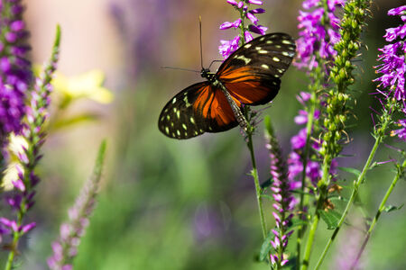 Shallow depth of field shot of a butterfly in some purple flowers Stock Photo