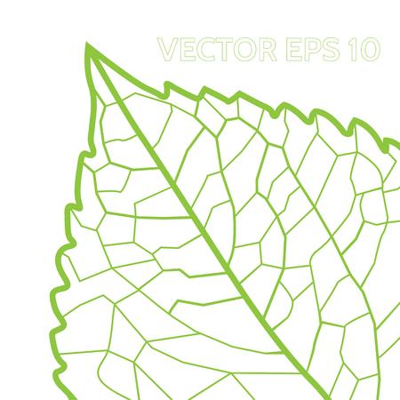 venation: leaf Illustration
