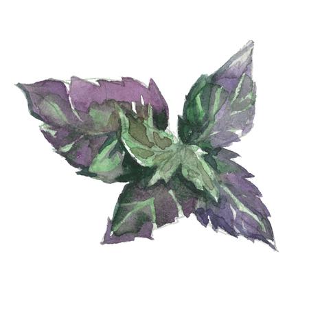 basil: watercolor fresh violet basil isolated