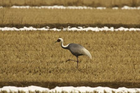 yello: walking crane bird