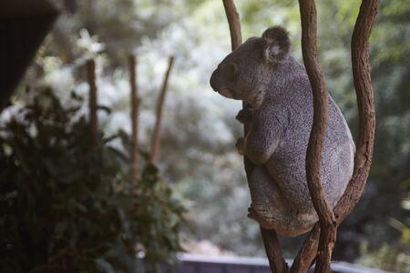 Koala of a zoo in Australia Stock Photo