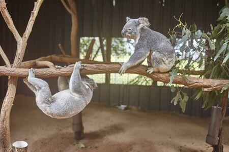 Which Australian zoo koala