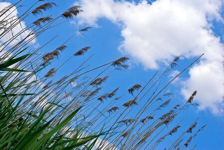 rushes: rushes on sky